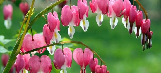 Oakdown Flower-Dicentra-Wallpaper-1920x1200